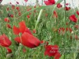 Corn Poppers in the Winds (Coquelicots dans le vent)