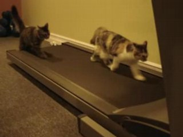 Deux chats sur un tapis roulant