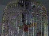 Bibiche perroquet gris du gabon chante