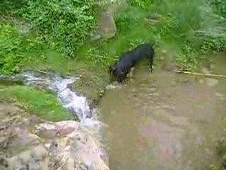 Rottweiler qui attaque la rivière