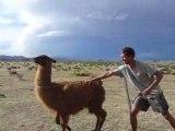 Altiplano avec les lamas