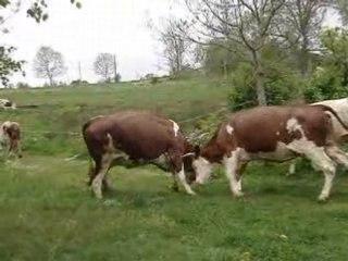 Vidéo des vache qui sortent dehors pour la première fois