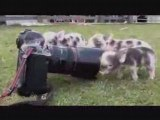 Baby pigs squealing everywhere