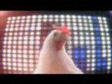 - Pouletonik ? -