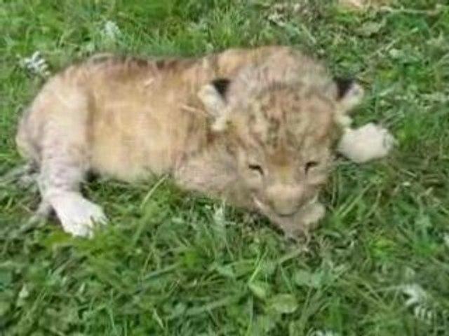 BEBE LION DE 5 JOURS