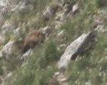 2 marmottes qui s'amusent au Grand Veymont dans le Vercors