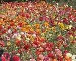 Carqueiranne, fleurs coupées et restanques