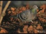 Pigeon domestique(Bizet)