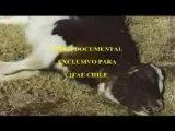 Mutilazioni Animali in Sud America