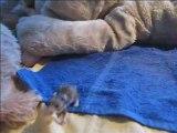 Bébés hamsters 17 jours