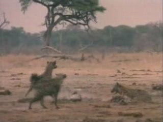 Lions Et Hyenes - Face a Face Mortel 3/3