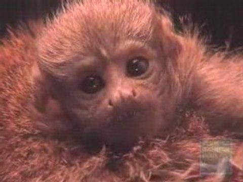 Baby Titi Monkey at the Bronx Zoo