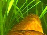 Discus Repro Aqualoury.fr.gd/ Cicchlidae Americain