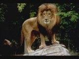 Lions Amazigh (berbere)