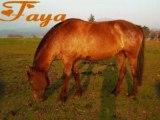 Les chevaux les poon's et les poulains de Santana