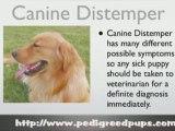 Canine Distemper - Distemper - Dog Symptoms and Diseases