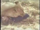 lion mangeant un homme