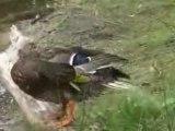 Les canards de la mare aux évées