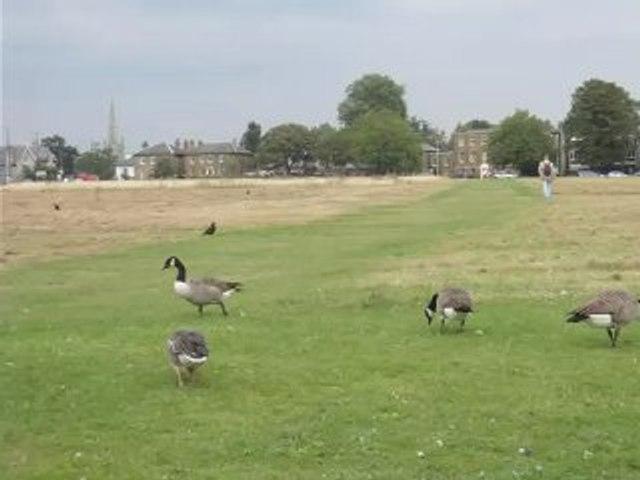 BH ducks 1