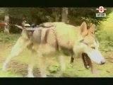 Cani-Rando:  la rando tiré par un chien