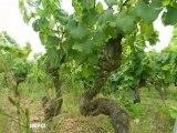 Vendanges : inspection des vignes en Loire-Atlantique