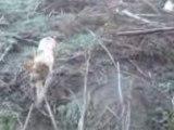 chasse a la grive en Corse
