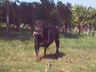 Royce – Rottweiler de 11 ans amputé