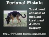 What is perianal fistula? Perianal fistula in the GSD