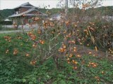 Food for the Birds, Japanese Persimmons