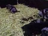 Chiots beaucerons de l'élevage d'araval