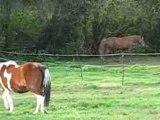 chevaux poneys