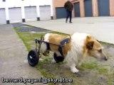 Harnais et chaise roulante pour chien paralysé