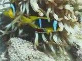 Anémone et poissons-clowns