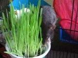 rats et herbe à chat