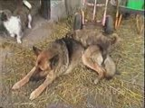 Rapports sexuels bizzares entre chiens suite