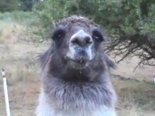 COUNTRY LIFE (Llamas & Politics)