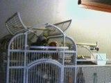 Miléro perroquet gris du gabon