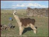 PEROU - Aréquipa -  Altiplano - Lac Titicaca -