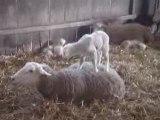 "Moutons "" Bergerie de Rambouillet """