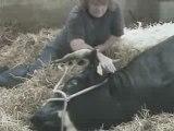 Une vache accouche ( sans trucages ) ;)