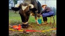 Traire une vache (Nulle Part Ailleurs) — Camille Saféris