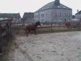 chevaux d'obstacles - Hector - Chevaux cso à vendre