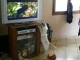 Chat Sacré de Birmanie regardant la télévision