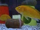 My 75lt Malavi Cichlid 4 - Labidochromis Caeruleus