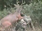 Cerf contre chasseur