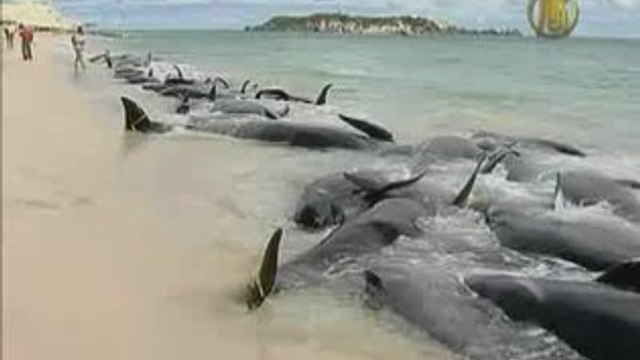 Whales Stranded in Western Australia