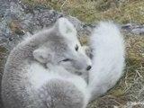 Les Mammifères du Svalbard