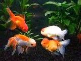 Mes poissons rouges japonais 01.04.09