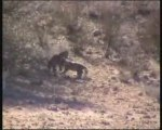 Safari in Sudafrica tra cuccioli di leopardo (sintesi)
