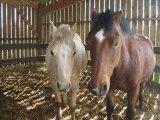 Poneys et chevaux du centre